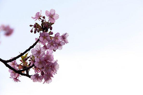 春近し、河津桜2020